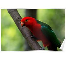 Curious King Parrot IV Poster
