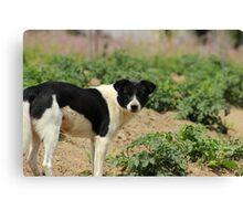 Stray Black and White Dog Canvas Print