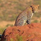 Leopard in the morning light by John Banks