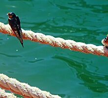 Pair Swallows sitting on Mooring Rope at Williamstown, Vic. by EdsMum