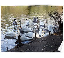 Swans at Tehidy Woods Poster