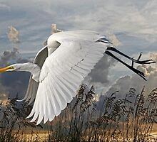 Beach Beauty - Great Egret by HHPhotographyFL