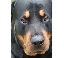 Beautiful  Female Rottweiler Portrait Vector Photographic Print