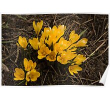 Spilled Gold - Bright Yellow Crocus Harbingers of Spring Poster