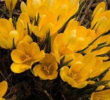 Spilled Gold - Bright Yellow Crocus Harbingers of Spring Sticker