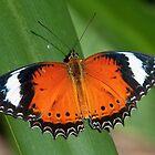 Orange Lacewing by Erik Schlogl