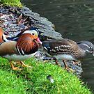 A Pair Of Mandarin Ducks by lynn carter