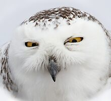 """Whooo goes there?"" - Snowy Owl by Jim Cumming"
