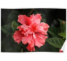 Pink Hibiscus Flowers on a Tree Poster