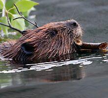 Beaver Working by William C. Gladish
