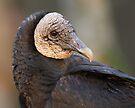 Black Vulture Portrait by WorldDesign