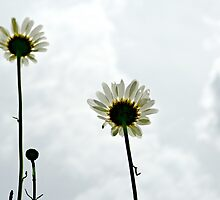 Daisies Three by Scott Mitchell