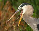 Great Blue Heron Exposure by William C. Gladish