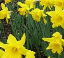 Easter Daffodils - Greeting Card Sticker