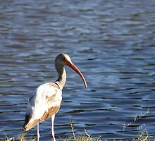 Ibis by June Holbrook