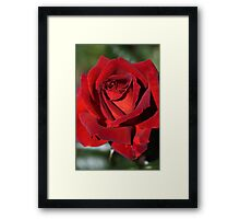 Hot Chocolate Rose Framed Print