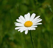 Wild Flower Ox-eye Daisy by Sue Robinson