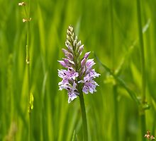 Common Spotted Orchid by Sue Robinson