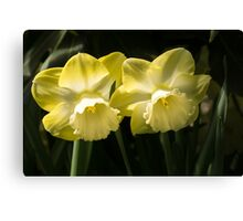 Sunny Pair - Glowing Mellow Yellow Narcissus Blooms Canvas Print