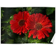 The Glorious Red Duo - Two Scarlet Gerbera Daisies  Poster