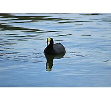 Andean Coot Photographic Print