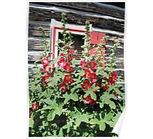 Red Hollyhocks by the Window Poster