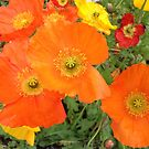 Orange Poppies by Christine  Wilson