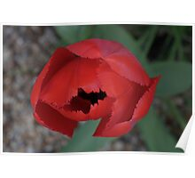 Bold Red Tulip Poster