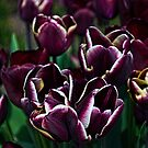 Purple Tulips by Colin Metcalf