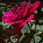Dark edged petals on magenta rose Leith Park Victoria 20151114 0706   by Fred Mitchell