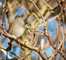 A dunnock bird opened mouth during bird song. by Sara Sadler