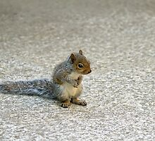 Baby Grey Squirrel by Sue Robinson