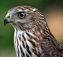 Cooper's Hawk by cclaude