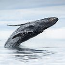 Breaching Humpback Whale by Gina Ruttle  (Whalegeek)