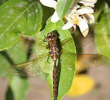Dragonfly on a Leaf by rhamm