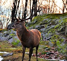 Red Deer  at Sunset by Poete100