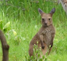 EARS LIKE TISSUE PAPER! Joey with Mum. 'Arilka', Mt. Pleasant. Adelaide Hills. Australia. Sticker