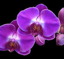 Pretty pink purple orchid flowers in black background by naturematters