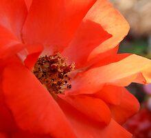 Rose Garden Series~3 - Calendar Image  ^ by ctheworld