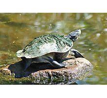 Freshwater Turtle Photographic Print