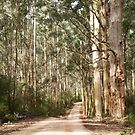 Karri forest by Kell Jeater