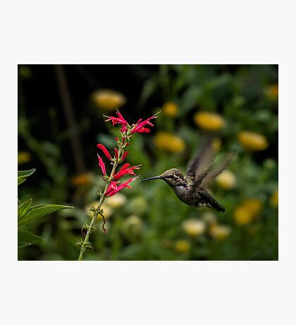 Anna's hummingbird and penstemon Photographic Print