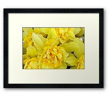 Yellow daffodils macro Framed Print