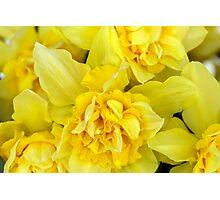 Yellow daffodils macro Photographic Print