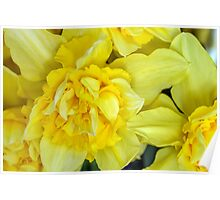 Yellow daffodils macro Poster