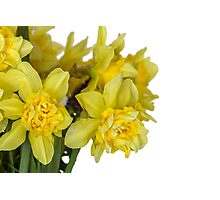 Daffodils macro in white Photographic Print
