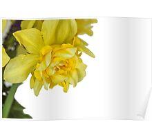 One daffodils macro Poster