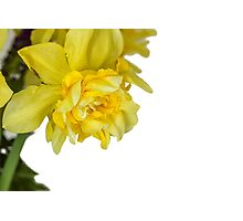 One daffodils macro Photographic Print