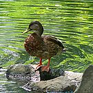 Duck on Rocks by Susan Savad