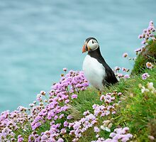 Puffin in sea pinks, Saltee Islands, County Wexford, Ireland by Andrew Jones